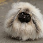 funny_hairy_pekingese_dog_wallpaper